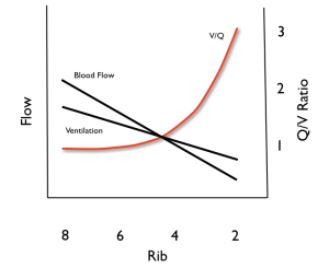 Blood Flow and Ventilation Relationships According to Rib Space